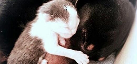 Dachshund adopts abandoned kittens
