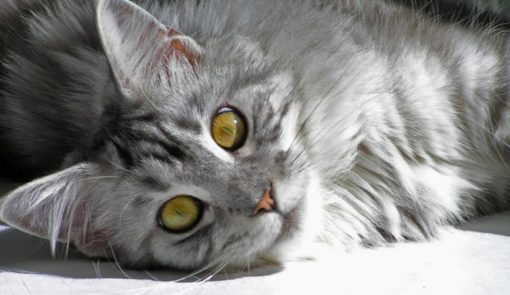 Stewie, the gray tabby Maine coon who was named as the longest cat in 2013