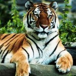 July 29 is International Tiger Day