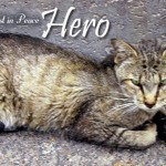 RIP Hero, a very special feral cat.