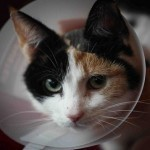 Cat 'paralysed' after microchip is accidentally injected into its SPINE!
