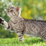 Calming Aromatherapy for Cats