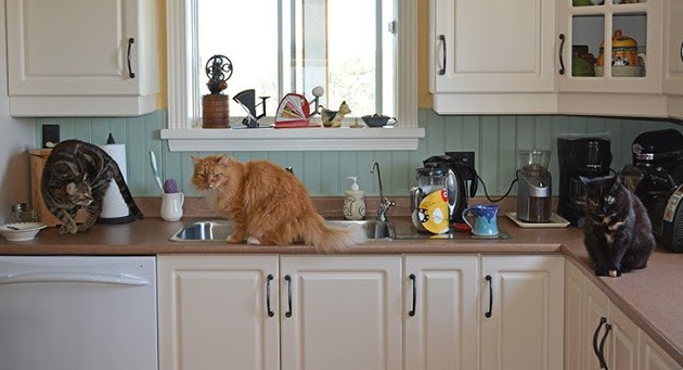 How to Keep Your Cat Off the Counter