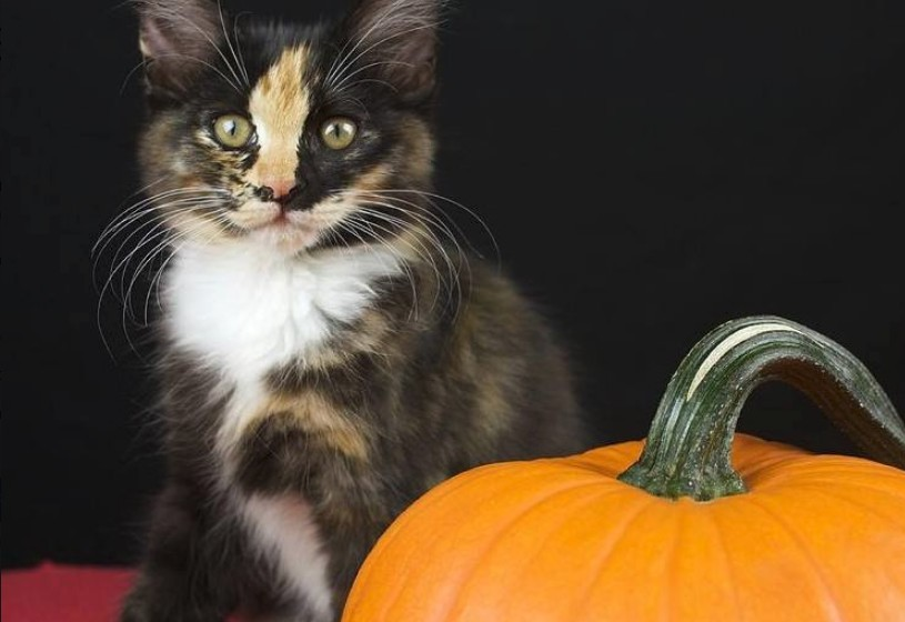 The Nutritional Benefits of Pumpkin for Cats
